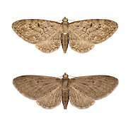 70.163 (1856)<br /> Larch Pug - Eupithecia lariciata