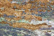 Rusty Porecrust - Phellinus ferruginosus