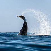 Humpback whale (Megaptera novaeangliae) splashing the ocean surface with its power fluke and caudal region.
