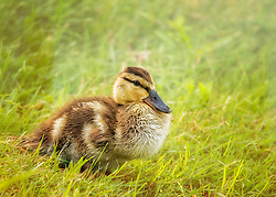 A baby Mallard Duck chick in the grass on a warm summer day
