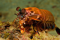 Smashing Mantis Shrimp striking an oyster with his raptorial appendage.  The stiking speed of this specialized claw is one of the fastest movements in the animal kingdom captured here by sheer luck.