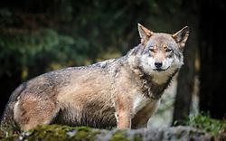 THEMENBILD - ein Europäischer Wolf, aufgenommen am 17. Oktober 2015, Wildpark, Ferleiten, Österreich // a Grey Wolf, Wildlife Park, Ferleiten, Austria on 2015/10/17. EXPA Pictures © 2015, PhotoCredit: EXPA/ JFK