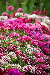 Mixed Sweet William. Dianthus barbatus
