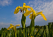 Close up view of yellow iris flower heads; iris pseudacorus; Taw Valley, Devon, U.K.