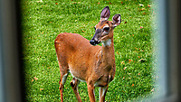 Doe just outside my laundry room. Backyard spring nature in New Jersey. Image taken with a Fuji X-T2 camera and 100-400 mm OIS lens (ISO 200, 100 mm, f/6.4, 1/45 sec).