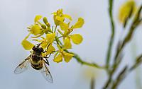 HALFWEG - insecten op de golfbaan , Amsterdamse Golf Club. (AGC)  . Insecteninventarisatie  COPYRIGHT KOEN SUYK