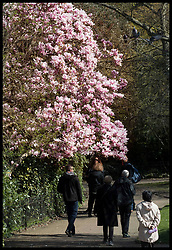 March 26, 2019 - London, London, United Kingdom - Image licensed to i-Images Picture Agency. 26/03/2019. London, United Kingdom. Spring time in London... A magnolia tree in full bloom in Greenwich Park  as temperatures continue to rise in the spring weather. (Credit Image: © Stephen Lock/i-Images via ZUMA Press)