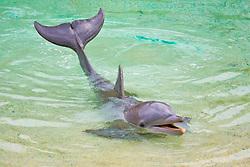 Atlantic bottlenose dolphin, Tursiops truncatus, performing, Dolphin Quest, Hilton Waikoloa Village, Big Island, Hawaii, USA (c)