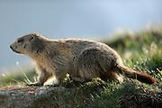 Alpine marmot (Marmota marmota) High Tauern National Park (Nationalpark Hohe Tauern), Central Eastern Alps, Austria | Alpenmurmeltier (Marmota marmota)  Nationalpark Hohe Tauern, Osttirol in Österreich