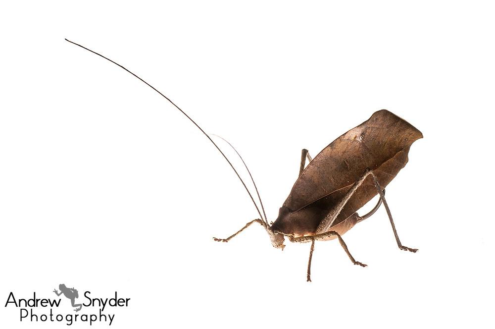 Leaf-mimicking katydid, Pterochroza ocellata, Surama, Guyana, July 2013