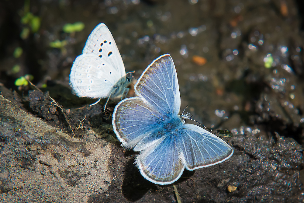 A pair of Boisduval's blues, land briefly just after a summer rain in the hot, arid sagebrush country of Kittitas County, Washington. This shot shows both the forewing, and the hindwing.