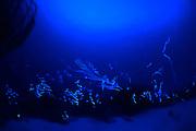 Cypridinid Ostracods are little Crustaceans living in the ocean. In the Caribbean coral reefs  Ostracods use bioluminescent light on there mating display, like fireflies. That is why they are called sea fireflies. This behavior has never been photographed before. Atlantic, Bonaire, Leeward Antilles, Caribbean region, Netherlands Antilles | Die Leuchtspur der karibischen Ostrakoden sind die komplexesten Leuchtmuster, die bisher in den Meeren gefunden wurden. Es sind Cypridinid Ostrakoden, die über zwei Öffnugen  Luciferin und Luciferase in das Meerwasser abgeben. Dort reagieren sie gemeinsam mit dem Sauerstoff im Meerwasser und produzieren das biolumineszes Licht. Die Männlichen Ostracoden fordern damit die Weibchen auf mit ihnen für die Paarung in die Wassersäule aufzusteigen. Bonaire, Niederländische Antillen