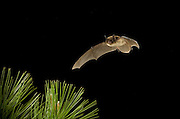 A yuma myotis bat (Myotis yumanensis) flying at night over ponderosa pine in the Ochoco National Forest, Oregon.