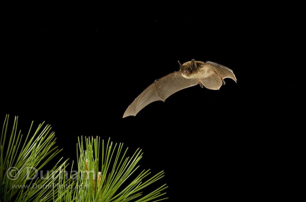 A yuma myotis bat (Myotis yumanensis) flying at night over ponderosa pine in the Ochoco National Forest, Oregon.
