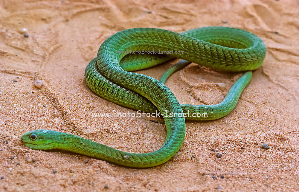 The western green mamba (Dendroaspis viridis) is a long, thin, and highly venomous snake of the mamba genus, Dendroaspis. This species was first described in 1844 by American herpetologist Edward Hallowell. The western green mamba is a fairly large and predominantly arboreal species, capable of navigating through trees swiftly and gracefully. It will also descend to ground level to pursue prey such as rodents and other small mammals.