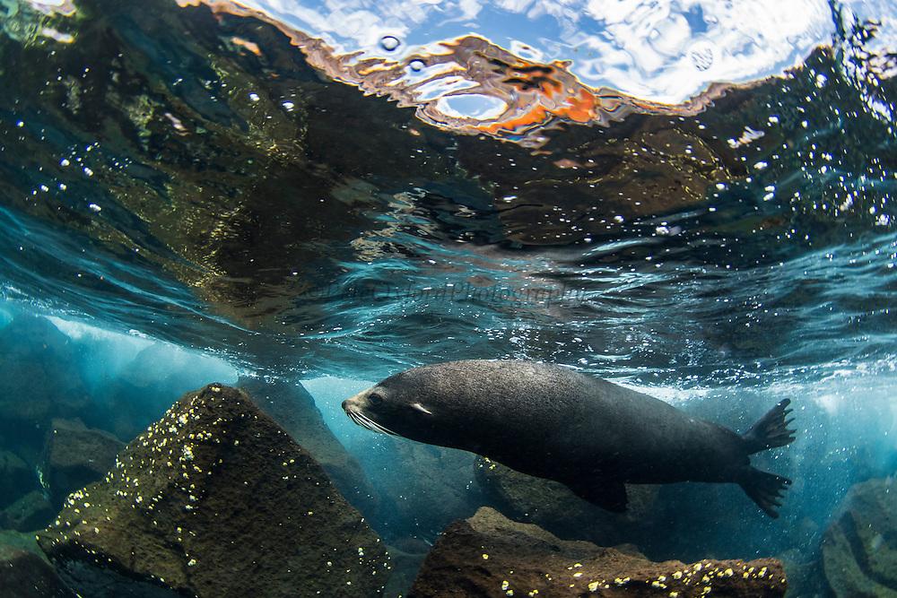 Galapagos Fur Seal (Arctocephalus galapagoensis) underwater<br /> North Seymour Island<br /> Galapagos<br /> Ecuador, South America <br /> ENDEMIC TO GALAPAGOS.