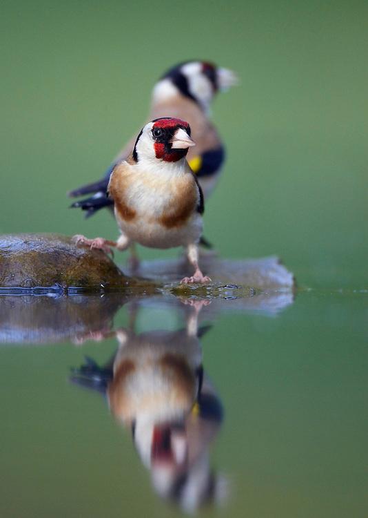 Goldfinch (Carduelis carduelis) Pusztaszer Nature Reserve, Hungary