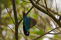 Blue Bird of Paradise (Paradisaea rudolphi) male performing practice display in the vicinity of the Tari Valley..Southern Highlands Province, Papua New Guinea.