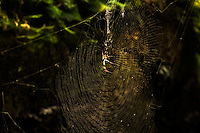 A golden silk spider sits in the middle of her web in the CREW March Hiking Trails in Collier County, Florida.