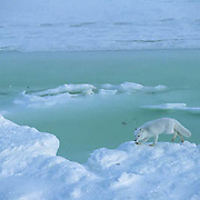 Arctic Fox (Alopex lagopus) Lone fox skirts open water on ice pack Churchill, Manitoba. Canada. Winter.