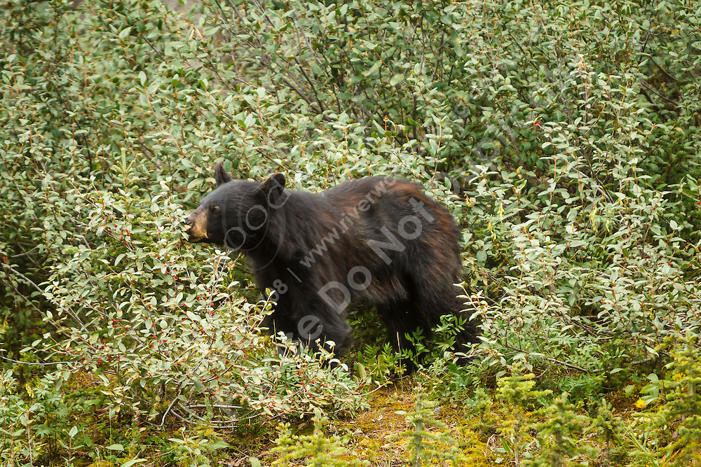 "We went out to the mountains for some ""mountain therapy"" (hiking at Chester Lake in Kananaskis) and we came across this black bear eating some berries on the side of the road on the Smith-Dorrien / Spray Lakes Road.<br /> <br /> ©2013, Sean Phillips<br /> http://www.RiverwoodPhotography.com"