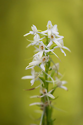 Lesser Butterfly-orchid (Platanthera bifolia) in ringerike, Norway