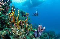 A diver cruises along a healthy sloping reef, with dive boat above...Shot in British Virgin Islands