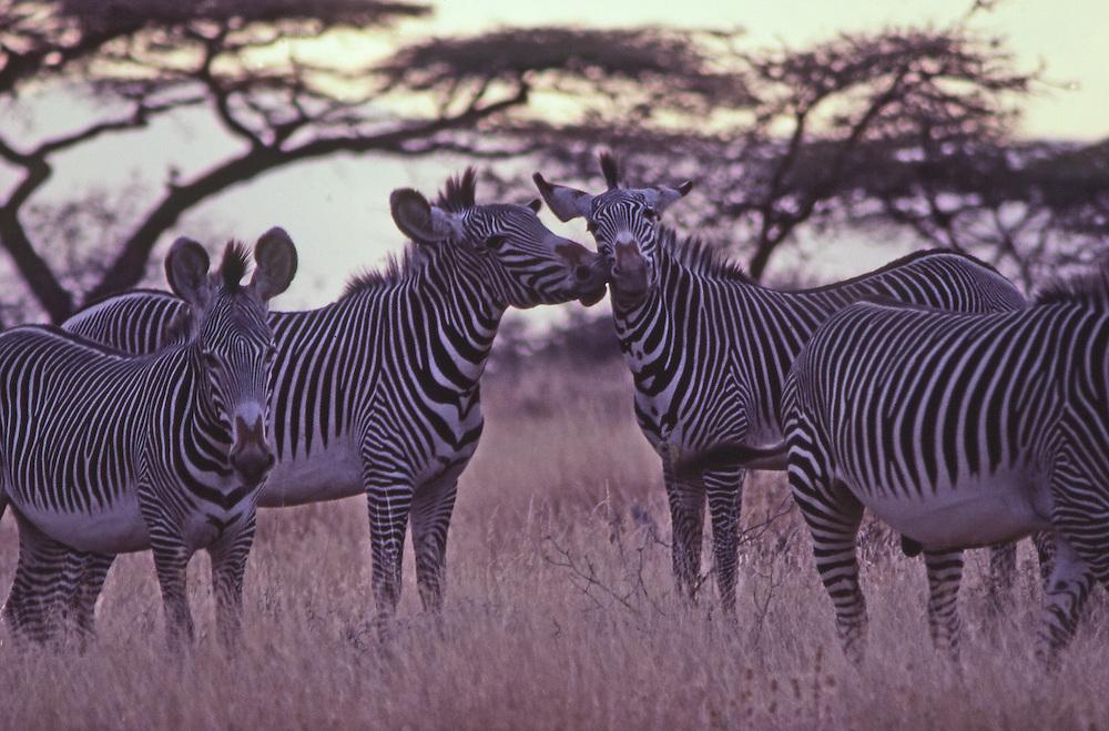 Grevy zebra gather under acacia trees and dry grass in Samburu National Game Reserve, Kenya