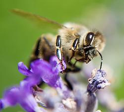 THEMENBILD - Bienen. Das Bild wurde am 20. Juli 2013 aufgenommen. im Bild Westliche Honigbiene oder Europaeische Honigbiene (Apis mellifera) sammelt Pollen von einer Lavendel (Lavandula angustifolia)  Pflanze // THEME IMAGE FEATURE - Bees. The image was taken on july, 20th, 2013. Picture shows Western Honey Bee or European Honey Bee (Apis mellifera) collecting pollen of lavender, AUT, EXPA Pictures © 2013, PhotoCredit: EXPA/ Michael Gruber