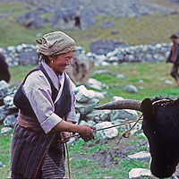 A Sherpa woman (Sherpani) unties her yak after unloading it in her village of Pheriche, near the base camp for Mount Everest.  (Photo taken in 1980)