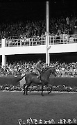 'Babbling Stream' owned my Mr Larry O'Byrne, Kilmacthomas, Co. waterford.  Champion Hunter at RDS Horse Show.08/08/1952