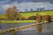 Sheep graze in flooded water meadow in Windrush Valley, Burford, The Cotswolds, UK