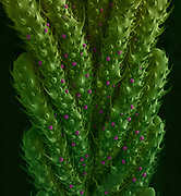 The top side of a new cannabis leaf imaged with a scanning electron microscope (SEM). Width of the image is 4 mm.