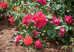 Rosa 'Celebration Time' syn. Rosa 'Cinco de Mayo',  R.'Wekcobeju'