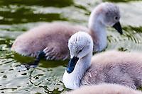 Mjölkö, Sweden. Mute swan chicks.