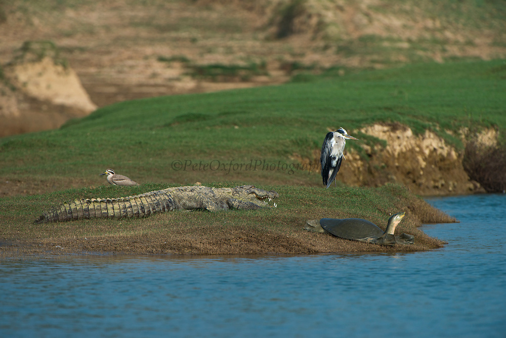 Mugger crocodile (Crocodylus palustris) & Indian softshell turtle (Nilssonia gangetica)<br /> National Chambal Sanctuary or National Chambal Gharial Wildlife Sanctuary<br /> Madhya Pradesh, India<br /> Range: Indian Subcontinent & surrounding countries.<br /> VULNERABLE