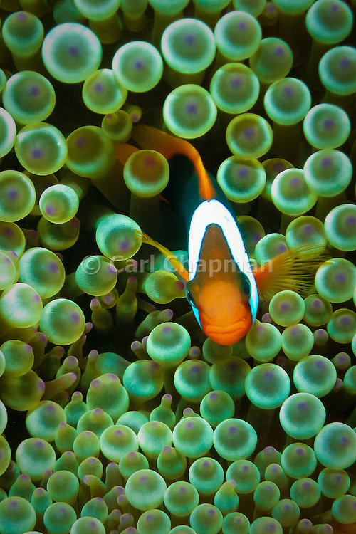 Bulb Tentacle Sea Anemone (entacmaea quadricolor) and Red Black Anemonefish (Amphiprion melanopus) - Agincourt Reef, Great Barrier Reef, Queensland, Australia. <br /> <br /> Editions:- Open Edition Print / Stock Image