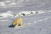 Noruega. Ártico. Norte de las Islas Svalbard.<br /> Oso polar caminando sobre el hielo.<br /> <br /> © JOAN COSTA