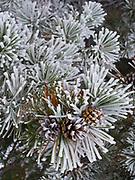 Rime Ice coating Lodgepole Pine boughs, ridge northeast of Divide Mountain, Blackfeet Reservation, Montana