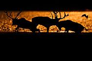 Herd of male Père David's deer, or Milu, Elaphurus davidianus, at sunrise in the morning by water of the Yangtze river in Hubei Tian'ezhou Milu National Nature Reserve, Shishou, Hubei, China