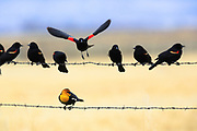 Red-winged blackbirds and yellow-headed blackbird, Montana.