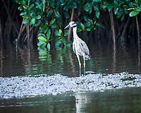 Yellow-crowned Night-Heron (Nyctanassa violacea). Caroni Bird Sanctuary, Caroni Swamp, Trinidad, Image taken with a Nikon D3s camera and 70-300 mm VR lens.