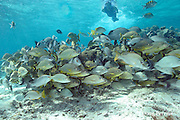 snorkeler observes school of mixed grunts and snappers at Shark Ray Alley, Hol Chan Marine Reserve, Ambergris Caye, Belize, Central America ( Caribbean Sea )