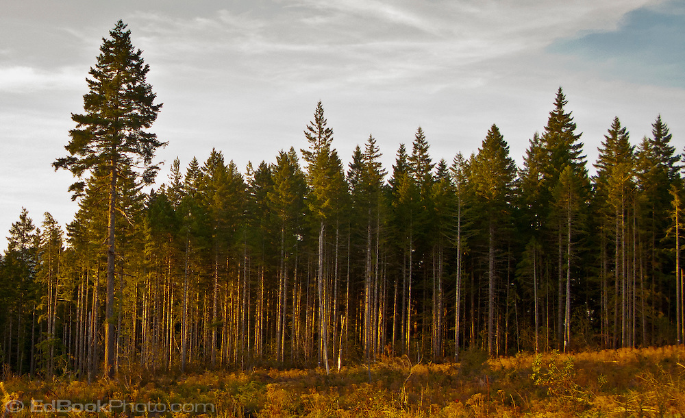 Dense growth of Douglas Fir at the edge of a clearcut timberland on Washington State Department of Natural Resources (DNR) land on the Kitsap Peninsula in Puget Sound, WA, USA evening alpenglow light