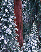 Fresh snow in forest of giant sequoias, Sequoia gigantea, Grant Grove, Kings Canyon National Park, California.