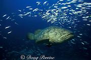Goliath grouper or jewfish, <br /> Epinephelus itajara, <br /> Florida ( Gulf of Mexico )