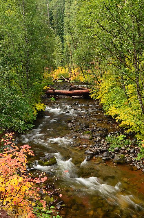 Vine maples in autumn colors along the North Santiam River in Oregon's Cascade Range.