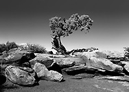 A lone Bristlecone Pine Tree emerging from the rocks at Dead Horse Point State Park, Utah, USA