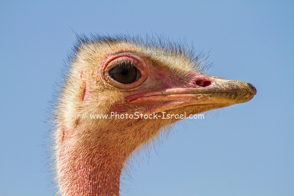 Closeup portrait of a common ostrich (Struthio camelus) with a blue sky background