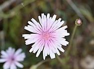 Pink Hawksbeard - Crepis rubra